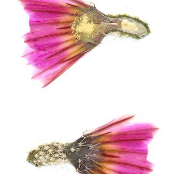 HMAO-003-0878 - Echinocereus pectinatus, Mexico, Coahuila, Hipolito