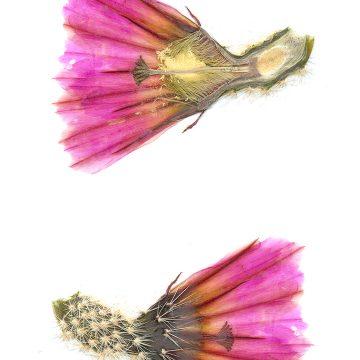 HMAO-003-0879 - Echinocereus pectinatus, Mexico, Coahuila, Hipolito