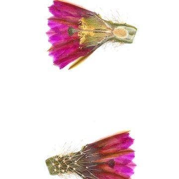 HMAO-003-0881 - Echinocereus engelmannii, Mexico, Baja California, El Arco