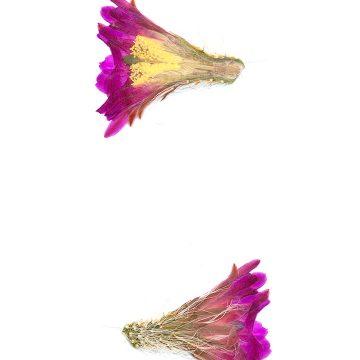 HMAO-003-0882 - Echinocereus nivosus, Mexico, Coahuila, El Cinco