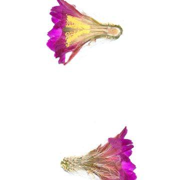 HMAO-003-0883 - Echinocereus nivosus, Mexico, Coahuila, El Cinco