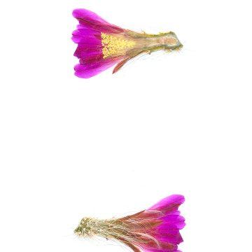 HMAO-003-0884 - Echinocereus nivosus, Mexico, Coahuila, El Cinco