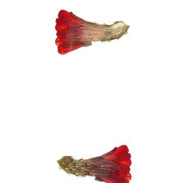 HMAO-003-0898 - Echinocereus mojavensis, USA, Utah, Tooele County