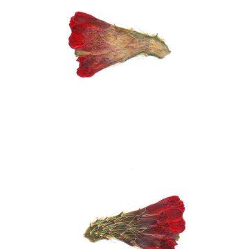 HMAO-003-0899 - Echinocereus mojavensis, USA, Utah, Tooele County