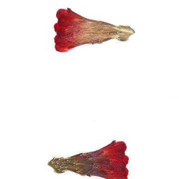HMAO-003-0900 - Echinocereus mojavensis, USA, Utah, Tooele County
