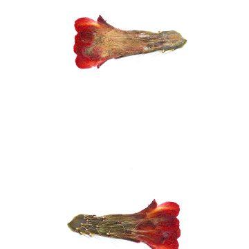 HMAO-003-0901 - Echinocereus mojavensis, USA, Utah, Tooele County