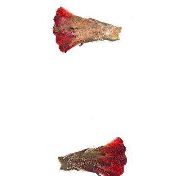 HMAO-003-0902 - Echinocereus mojavensis, USA, Utah, Tooele County