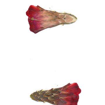 HMAO-003-0905 - Echinocereus mojavensis, USA, Utah, Sevier County