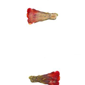 HMAO-003-0906 - Echinocereus mojavensis, USA, Utah, Sevier County
