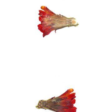 HMAO-003-0907 - Echinocereus mojavensis, USA, Utah, Sevier County