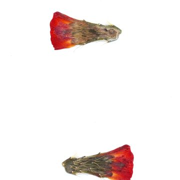 HMAO-003-0908 - Echinocereus mojavensis, USA, Utah, Bicknel