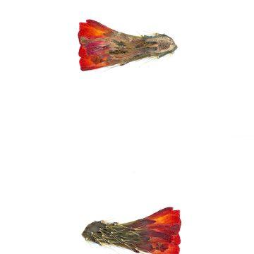 HMAO-003-0909 - Echinocereus mojavensis, USA, Utah, Bicknel