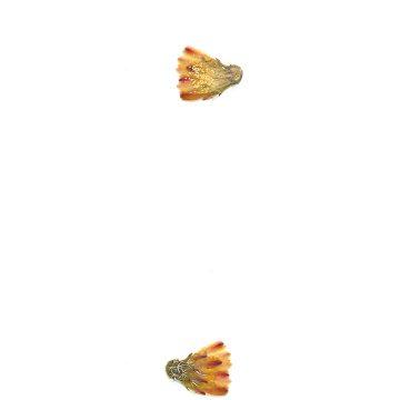 HMAO-003-0940 - Echinocereus viridiflorus, USA, Colorado, Salida