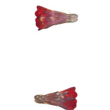 HMAO-003-0942 - Echinocereus mojavensis, USA, Colorado, Whitewater