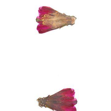 HMAO-003-0958 - Echinocereus mojavensis inermis, USA, Utah