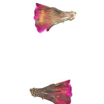 HMAO-003-0959 - Echinocereus mojavensis inermis, USA, Utah