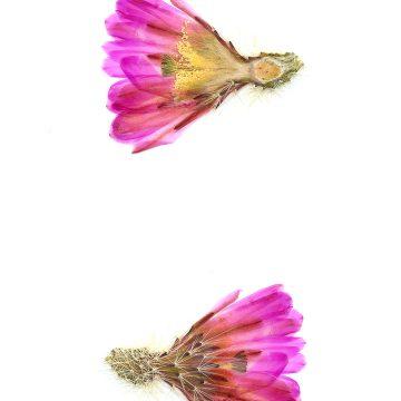 HMAO-003-0963 - Echinocereus bristolii floresii, Mexico, Sinaloa, Los Mochis