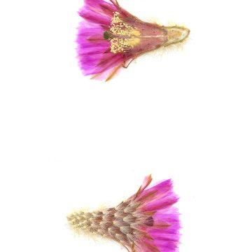 HMAO-003-0964 - Echinocereus reichenbachii baileyi, USA, Oklahoma, Granite