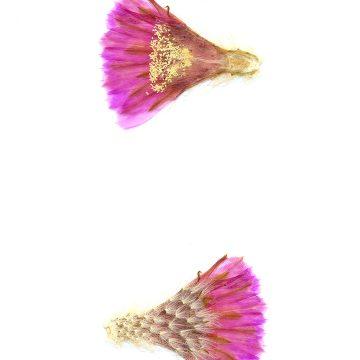HMAO-003-0965 - Echinocereus reichenbachii baileyi, USA, Oklahoma, Granite