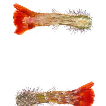 HMAO-003-0966 - Echinocereus polyacanthus, Mexico, San Luis Potosi, 30 Km nördlich San Luis Potosi
