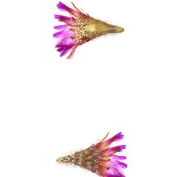 HMAO-003-0970 - Echinocereus reichenbachii caespitosus, USA, Texas, Burnet County