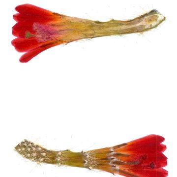 HMAO-003-0971 - Echinocereus spec., Mexico, Sonora, Milpillas, LAU0084