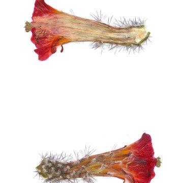 HMAO-003-0973 - Echinocereus acifer tubiflorus, Mexico, Zacatecas