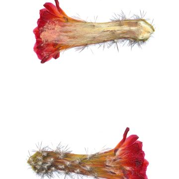 HMAO-003-0974 - Echinocereus acifer tubiflorus, Mexico, Zacatecas