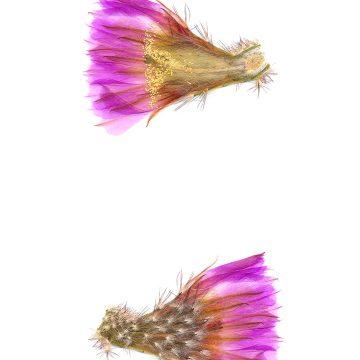 HMAO-003-0975 - Echinocereus reichenbachii caespitosus castaneus, USA
