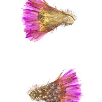HMAO-003-0976 - Echinocereus reichenbachii caespitosus castaneus, USA