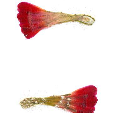 HMAO-003-0990 - Echinocereus spec., Mexico, Sonora, San Antonio