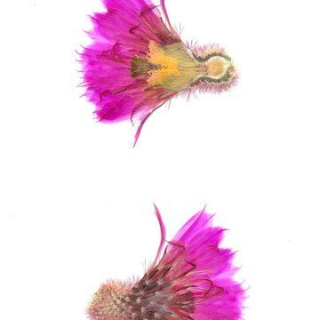 HMAO-003-0991 - Echinocereus rigidissimus rubispinus, LAU0088