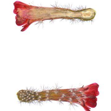 HMAO-003-0993 - Echinocereus acifer, Mexico, Zacatecas, Milpillas