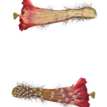 HMAO-003-0994 - Echinocereus acifer, Mexico, Zacatecas, Milpillas
