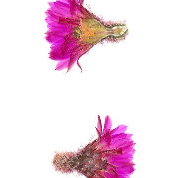 HMAO-003-0995 - Echinocereus rigidissimus rubispinus, LAU0088
