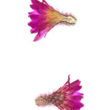 HMAO-003-0996 - Echinocereus rigidissimus rubispinus, LAU0088