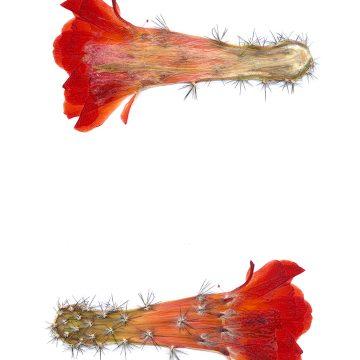 HMAO-003-0998 - Echinocereus acifer, Mexico, Durango, Topia