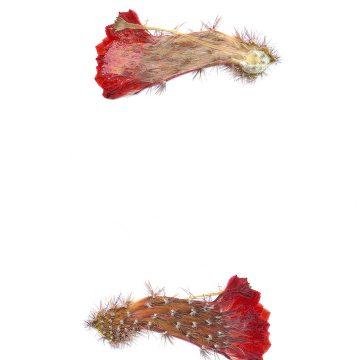 HMAO-003-1000 - Echinocereus ortegae, Mexico, PG302