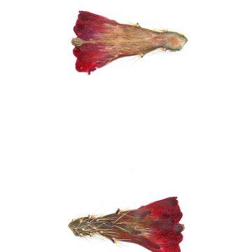 HMAO-003-1001 - Echinocereus mojavensis, USA, Utah, Tooele County