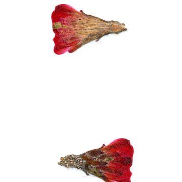 HMAO-003-1020 - Echinocereus mojavensis, USA, Utah, Sevier County