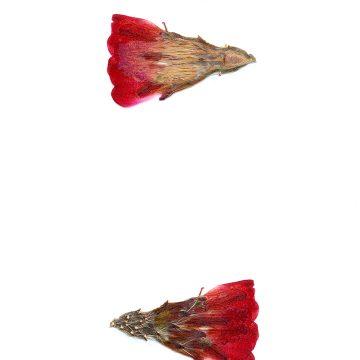 HMAO-003-1021 - Echinocereus mojavensis, USA, Utah, Sevier County