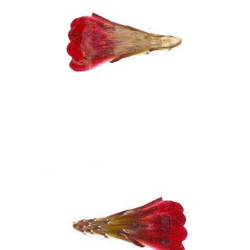 HMAO-003-1023 - Echinocereus mojavensis, USA, Utah, Sevier County
