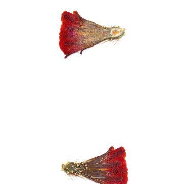 HMAO-003-1024 - Echinocereus mojavensis, USA, Utah, Sevier County