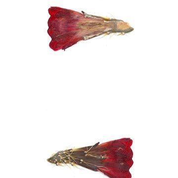 HMAO-003-1025 - Echinocereus mojavensis, USA, Utah, Sevier County