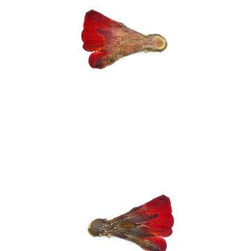 HMAO-003-1026 - Echinocereus mojavensis, USA, Utah, Sevier County