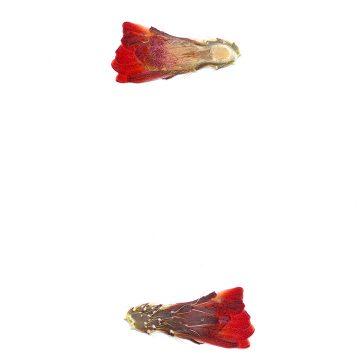 HMAO-003-1027 - Echinocereus mojavensis, USA, Utah, Sevier County