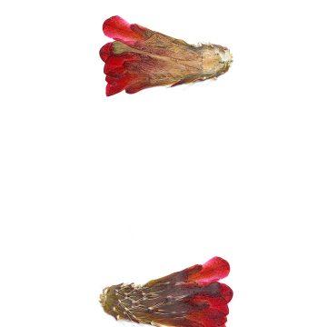 HMAO-003-1028 - Echinocereus mojavensis, USA, Utah, Sevier County