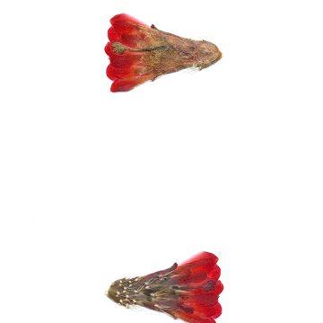 HMAO-003-1029 - Echinocereus mojavensis, USA, Utah, Sevier County