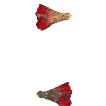 HMAO-003-1030 - Echinocereus mojavensis, USA, Utah, Sevier County