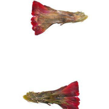HMAO-003-1031 - Echinocereus mojavensis, USA, Utah, Sevier County